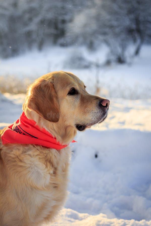 Lekki psi aporter dla spaceru w zimie zdjęcia royalty free