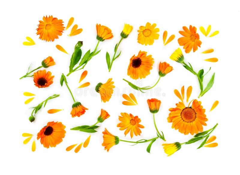 Lekmanna- sammansättning för lägenhet med blommacalendulaen som isoleras på vita lodisar arkivfoto
