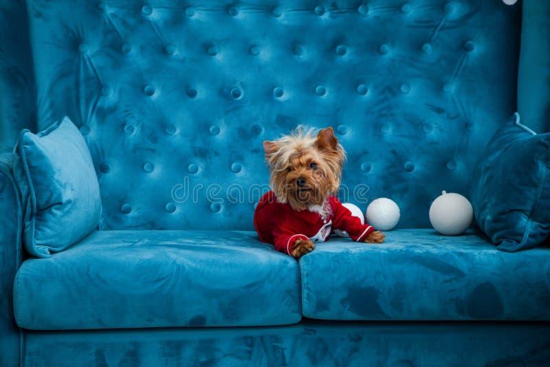 Leksak för soffa för terrier för tiffany blå för turkos för soffa för fotoperiod för färg för hund för husdjur jul för nytt år rö royaltyfri foto