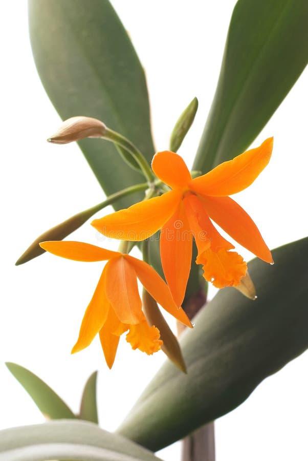 lelia orangeorchid royaltyfria bilder