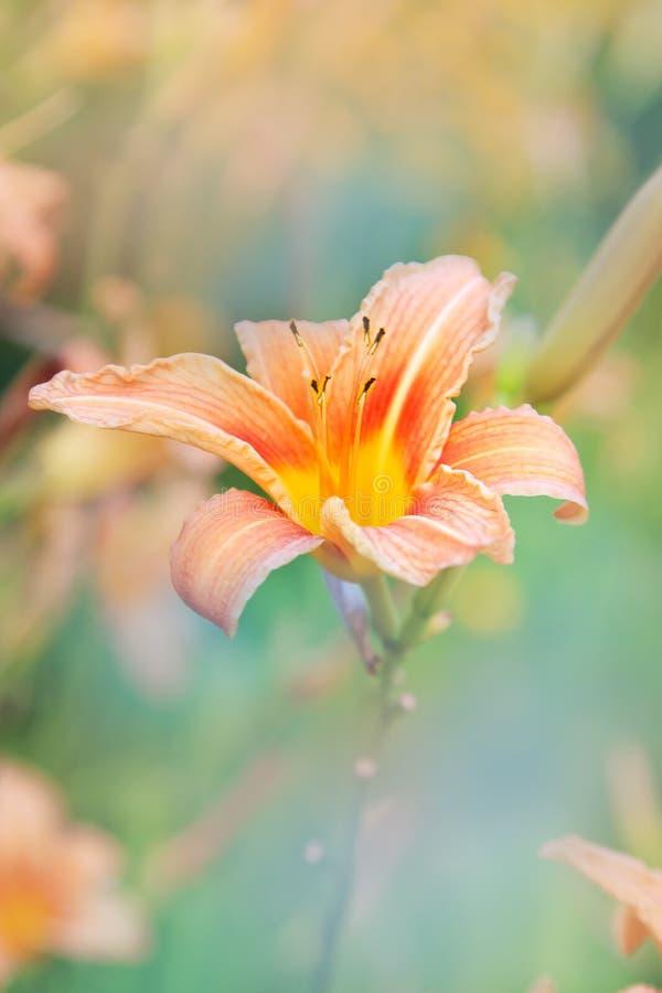 Lelie bloemenachtergrond stock afbeelding