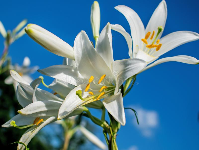 Lelie die op een warme de zomerdag bloeien stock afbeeldingen