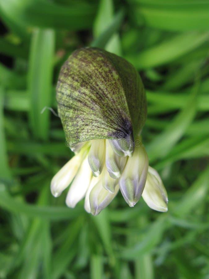 Lelie van de Bloemen die van Nijl uit Knop te voorschijn komen stock fotografie
