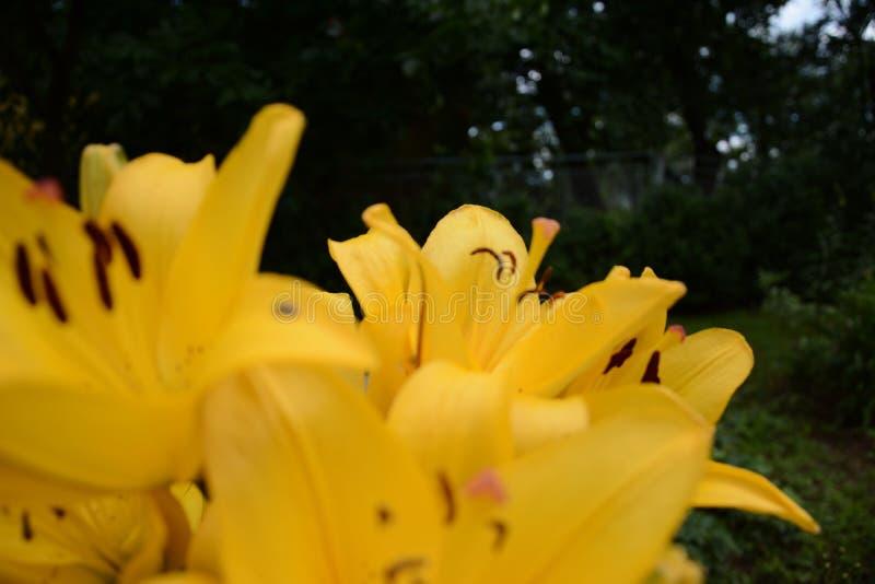 Lelie van oranjegeel in bloemtuin in de zomer stock afbeeldingen