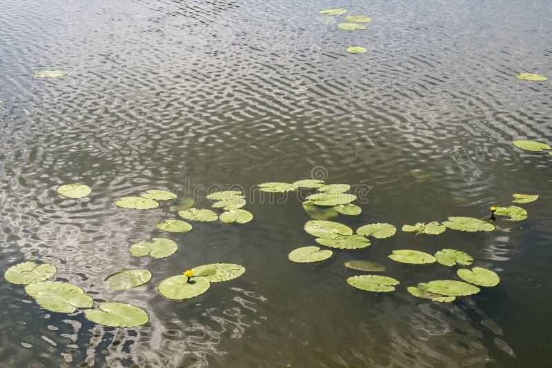 Leliebloem in het water royalty-vrije stock foto