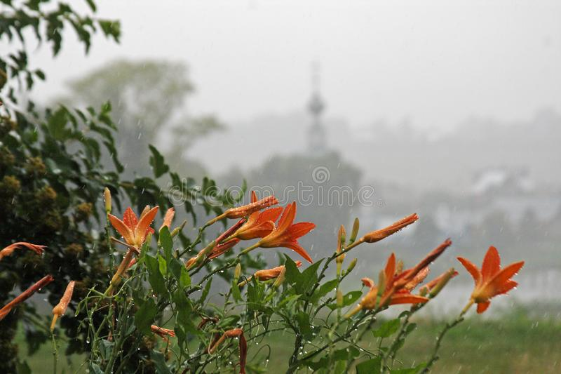 Lelies met dalingen in de regen stock fotografie