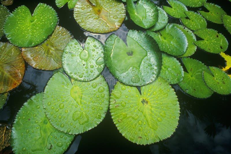 Leliestootkussens in tuin, Miami, FL stock foto