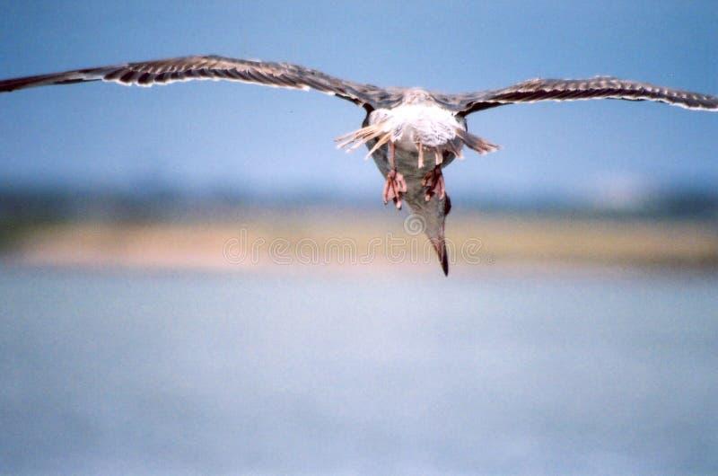 Lelijke Zeemeeuw tijdens de vlucht stock foto