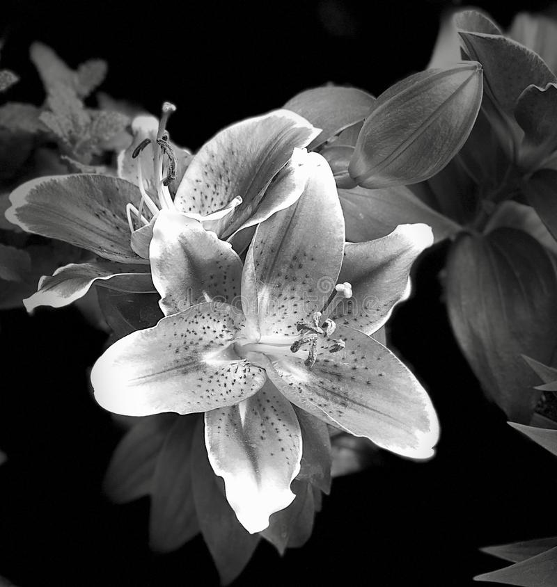 Lelui kwitnienie w czarno biały zbliżeniu zdjęcia royalty free