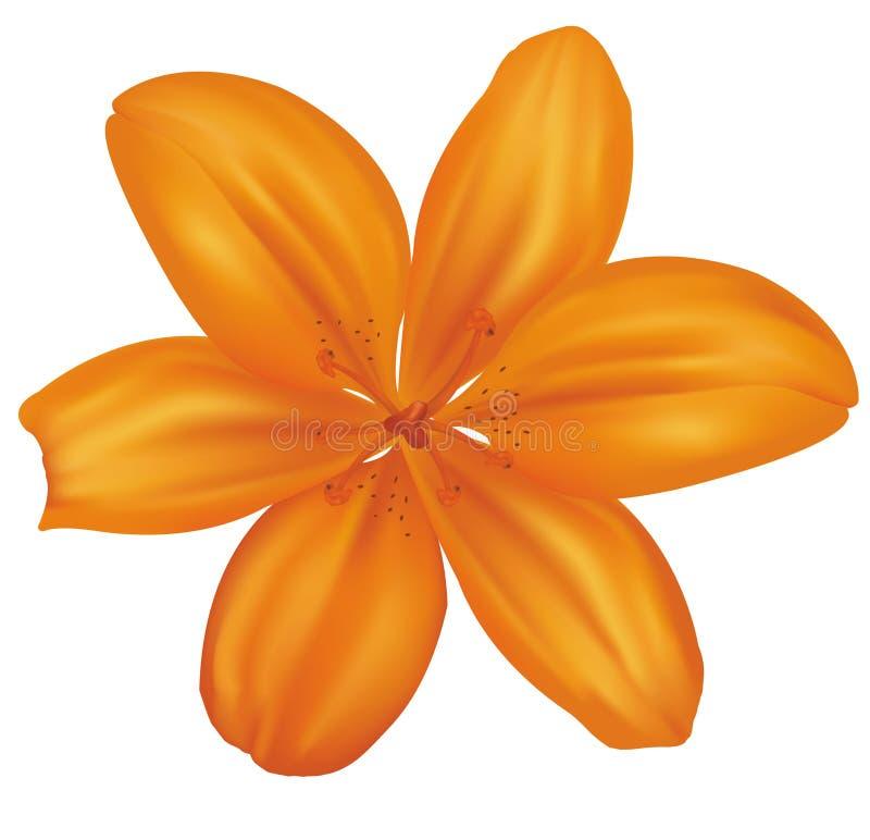 lelui piękna pomarańcze ilustracja wektor