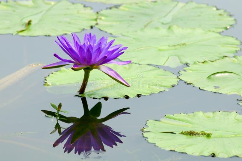 lelui purpur woda obraz stock