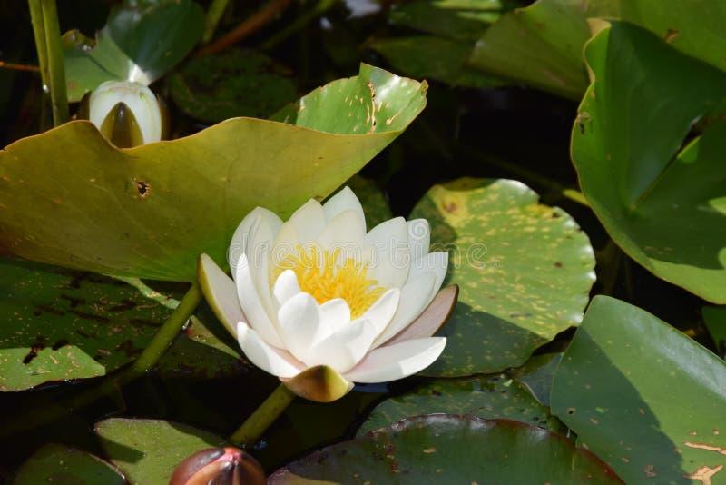 lelui stawu wody biel zdjęcie stock