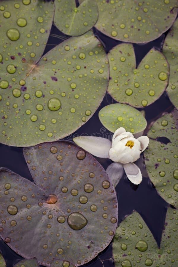 Leluja i leluja ochraniacze z raindrops zdjęcia royalty free