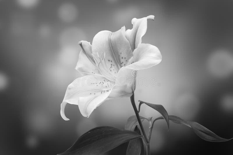 Leluja kwiat obrazy stock