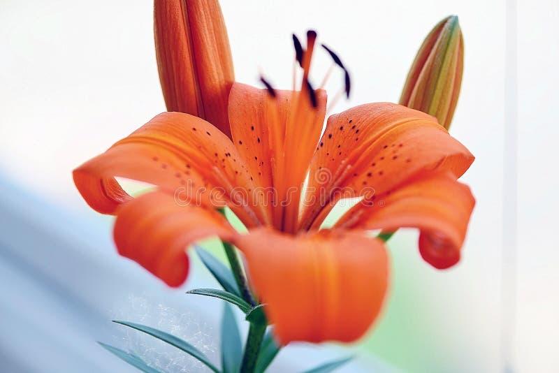 Leluja kwiat i sw?j p?czki przed otwiera? fotografia stock