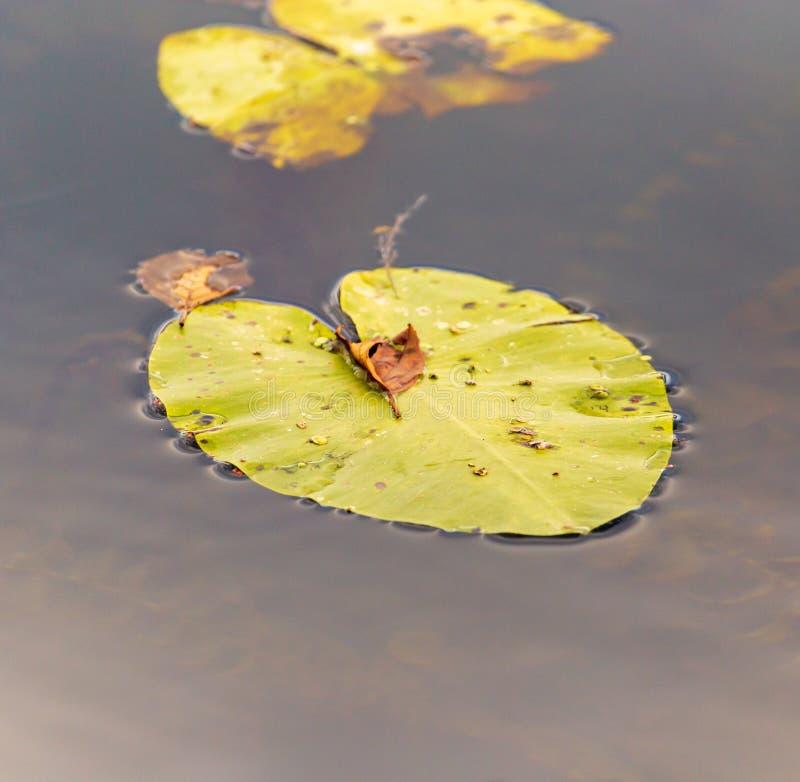 Leluja opuszcza na powierzchni woda w stawie w jesieni zdjęcia royalty free