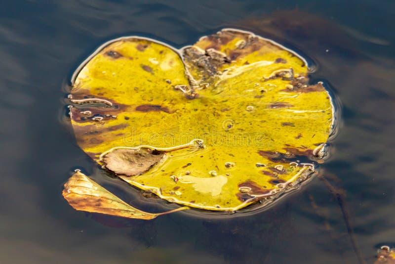 Leluja opuszcza na powierzchni woda w stawie w jesieni obraz stock