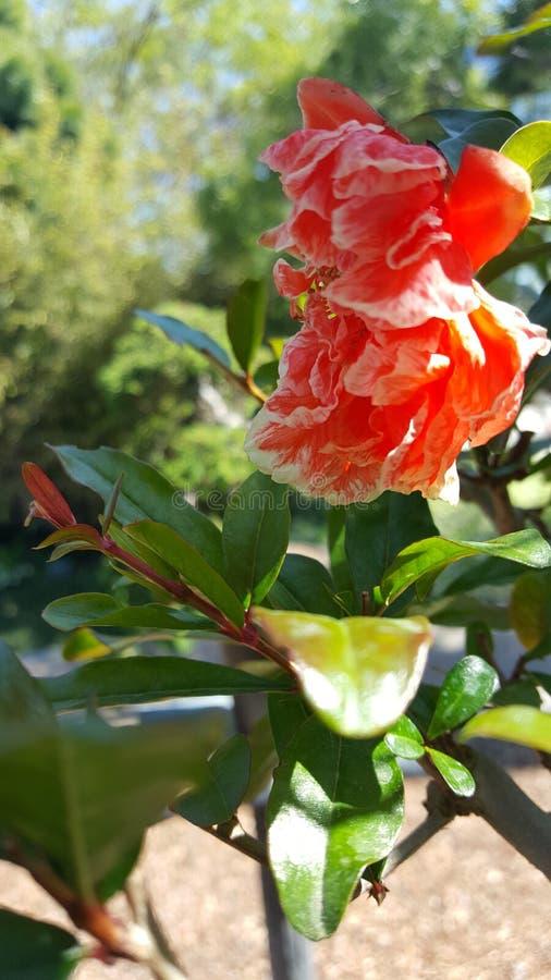 Leluja przy ogródem zdjęcie stock