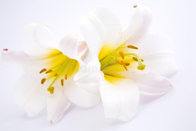 leluje biały obraz stock
