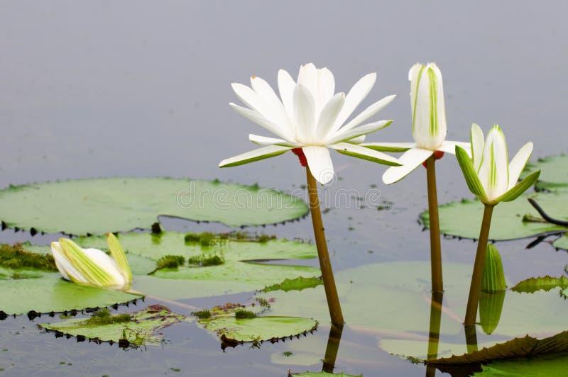 leluje nawadniają biel obrazy stock
