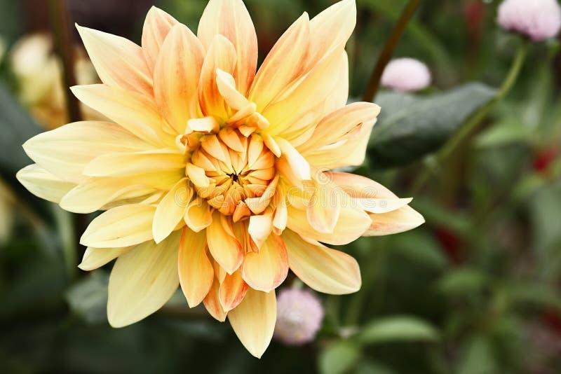 Lema amarillo y anaranjado Dahlia Flower imagen de archivo