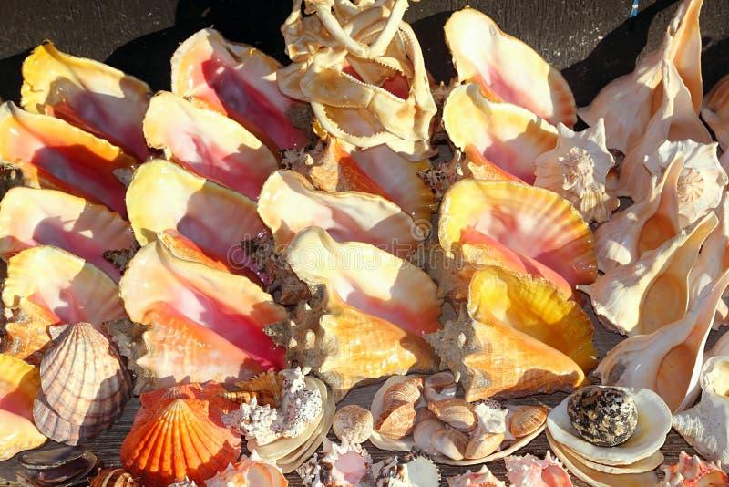 Lembranças do mar do Cararibe dos moluscos das maxilas do tubarão dos Seashells fotografia de stock royalty free