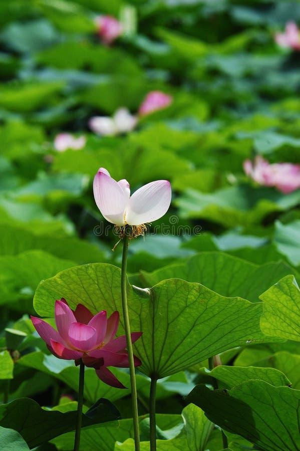 lemlästad lotusblomma arkivfoton