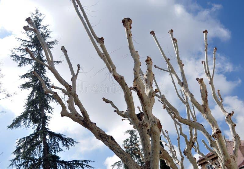 lemlästade trees arkivbild