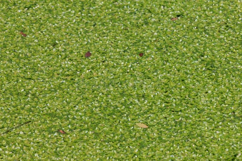 Lemma coperta sulla superficie dell'acqua fotografia stock