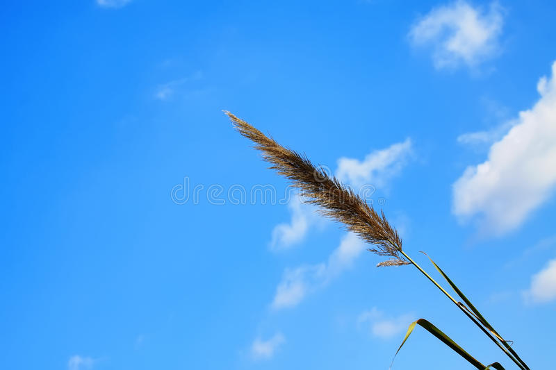 Lemma grass that the light of the sun. Shining behind with bright blue sky stock photos