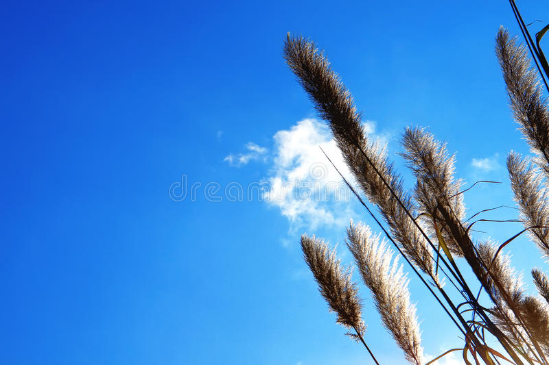 Lemma grass that the light of the sun. Shining behind with bright blue sky royalty free stock images