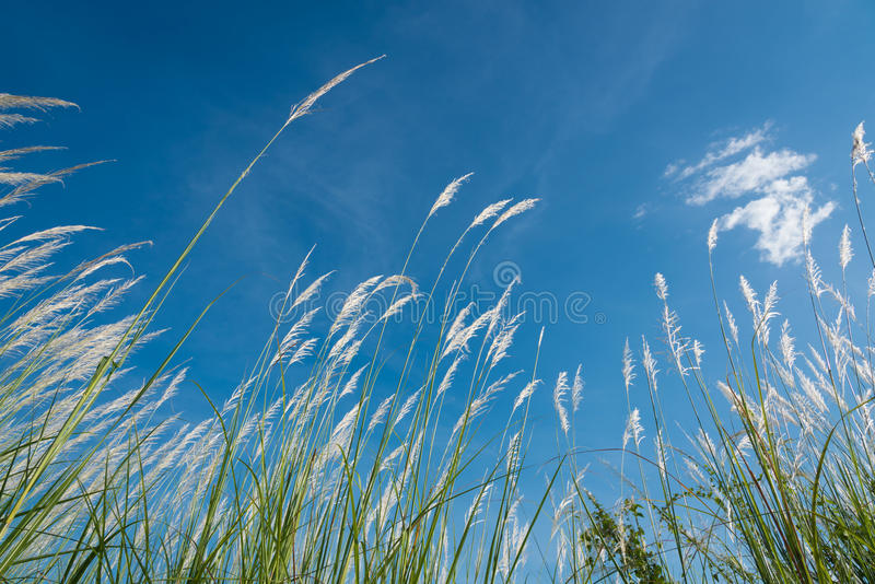 Lemma touch the wind. Lemma bent by the wind with blue clear sky royalty free stock photo