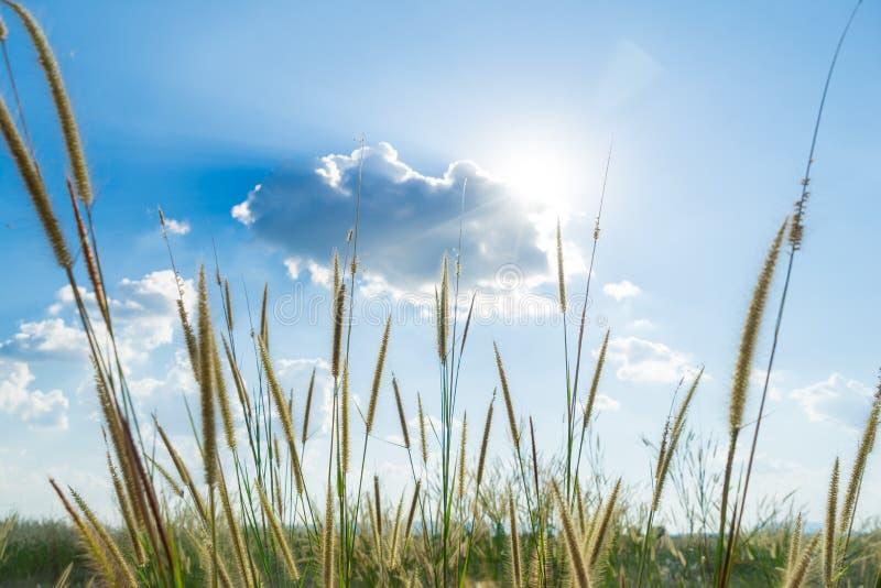 Lemmagras dat licht van zon die erachter met heldere blauwe sk glanzen stock foto