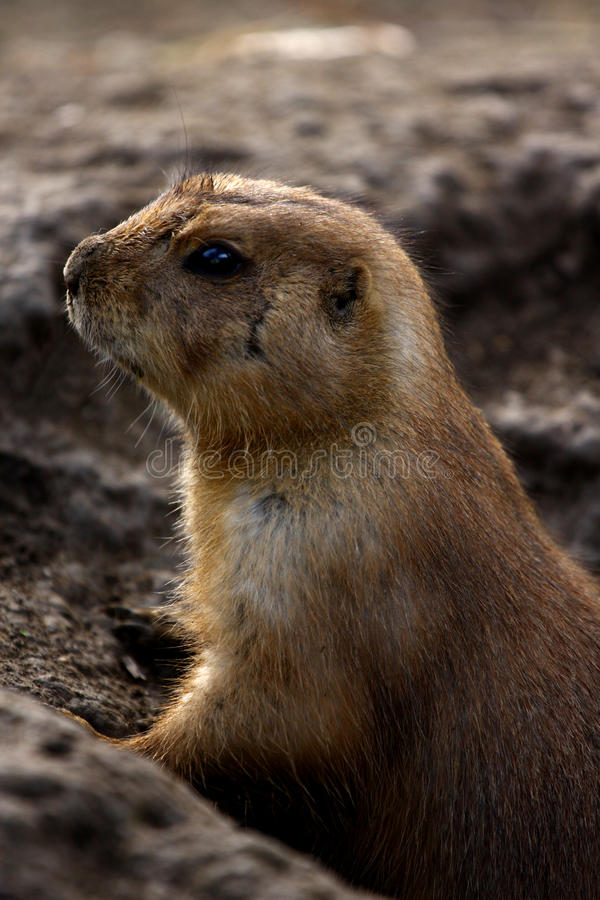 Lemming images stock