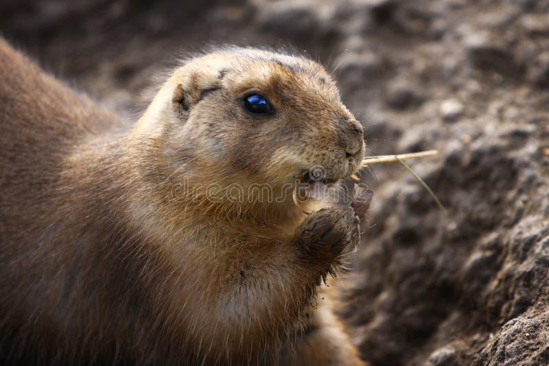 Lemming photos stock