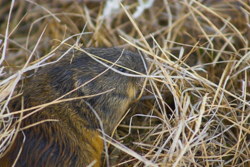 Lemming fotografia stock