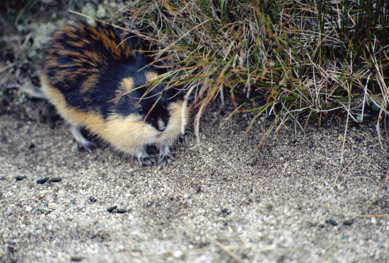 A lemming in Norway royalty free stock image