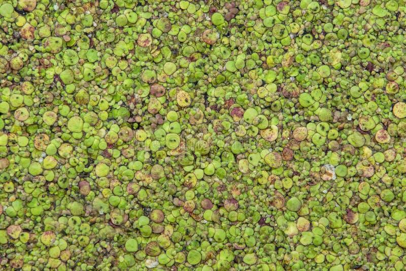 Lemna duckweed στην επιφάνεια νερού στοκ φωτογραφία