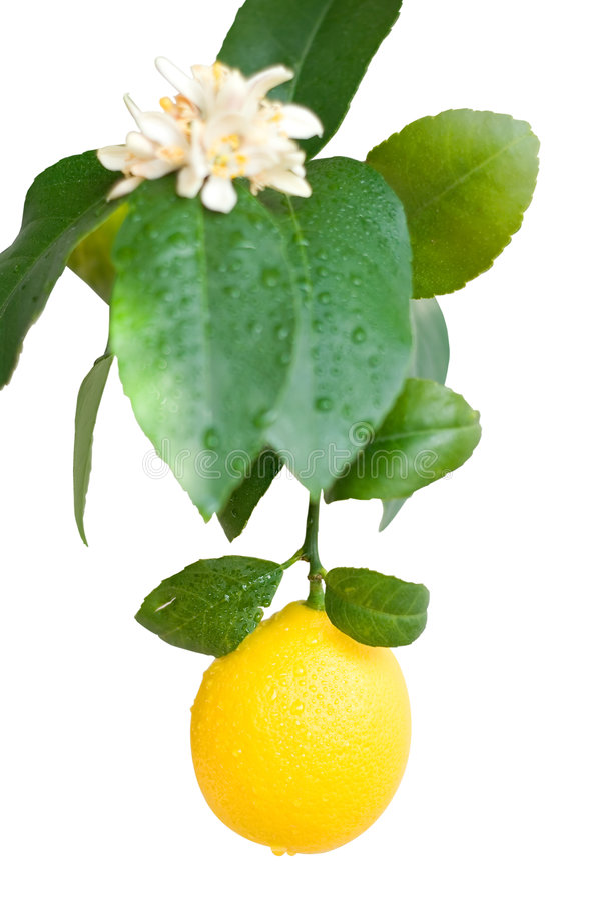 Free Lemon Stock Photography - 2151992