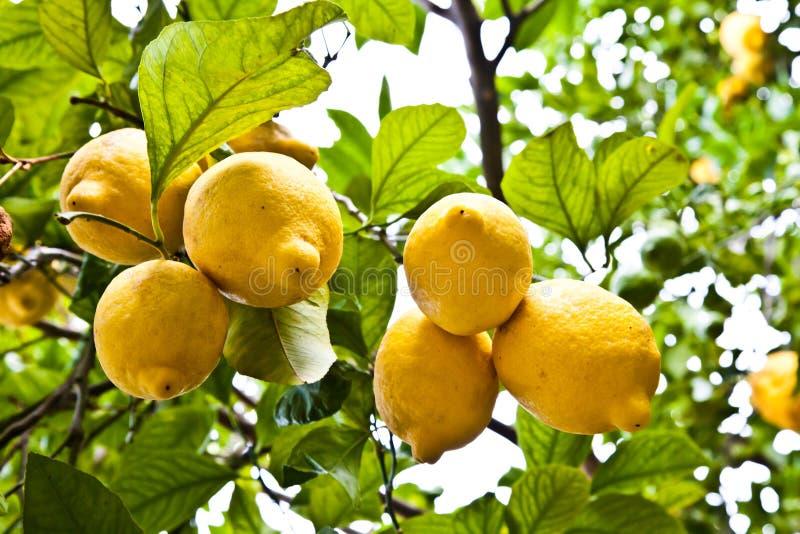 Download Lemon stock image. Image of citrus, fresh, agriculture - 22834145