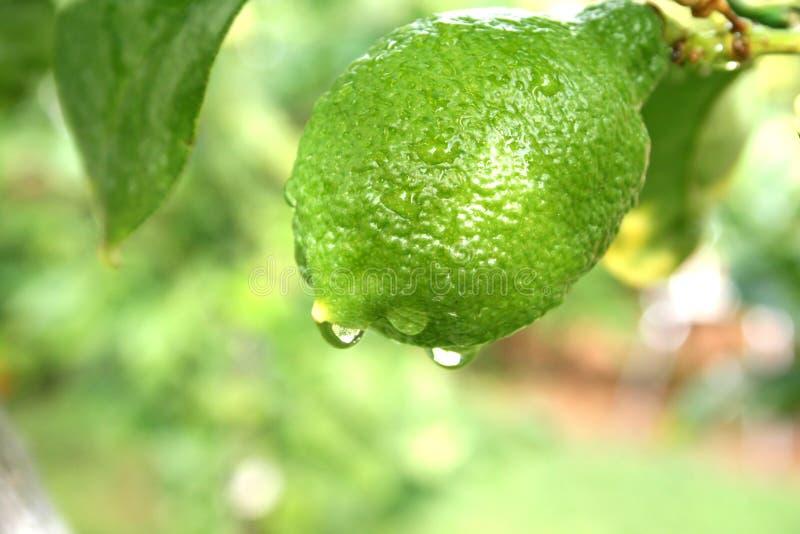 lemon στοκ εικόνα με δικαίωμα ελεύθερης χρήσης