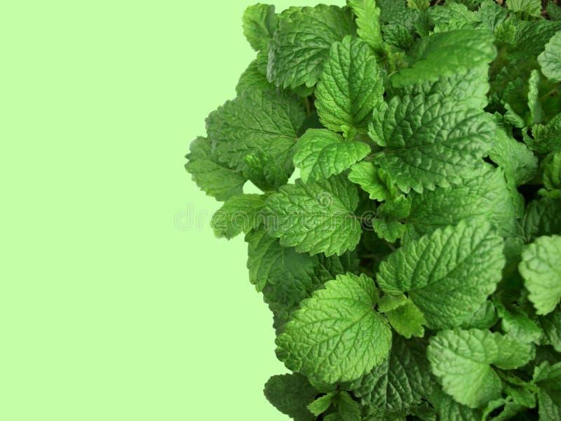 Download Lemon balm background stock image. Image of ingredient - 14434987