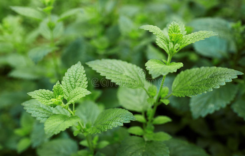 Lemon Balm royalty free stock images