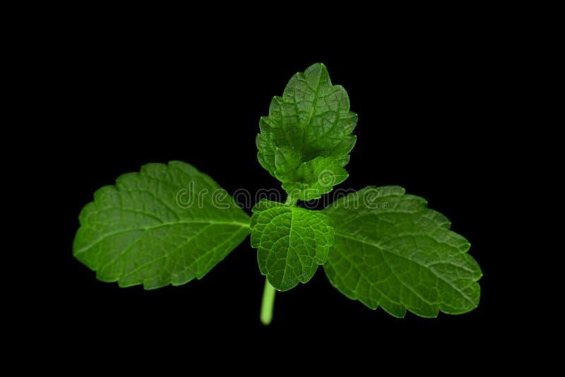 Melissa leaf closeup. Lemon-balm leaf closeup isolated on black background royalty free stock images