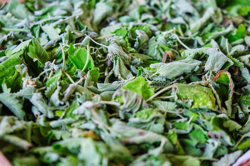 Lemon balm Melissa officinalis leaves for tea drying out. Concept for home made, bio tea, healthy living.  stock image