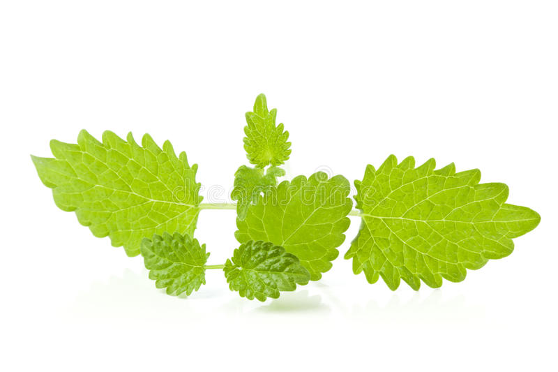 Download Lemon Balm Sprigs On White Background Stock Image - Image: 29044091