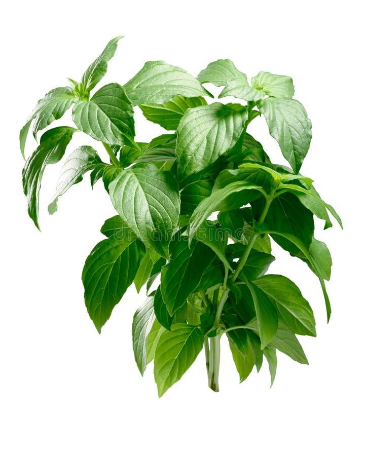 Lemon basil Ocimum basilicum, bush, paths. Lemon scented Basil Ocimum basilicum, erect bush. Clipping path stock photography