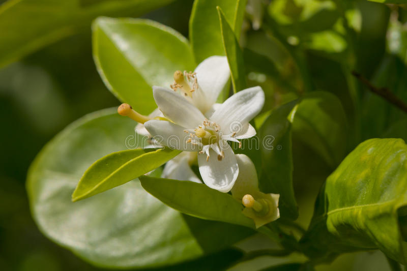 Download Lemon Blossoms stock photo. Image of garden, white, food - 39504402