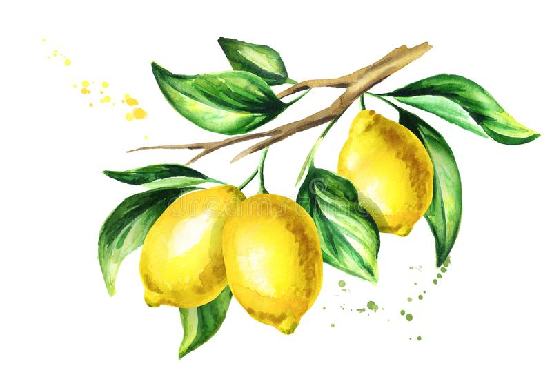 Lemon branch with fruit and leaves. Watercolor hand drawn illustration. vector illustration