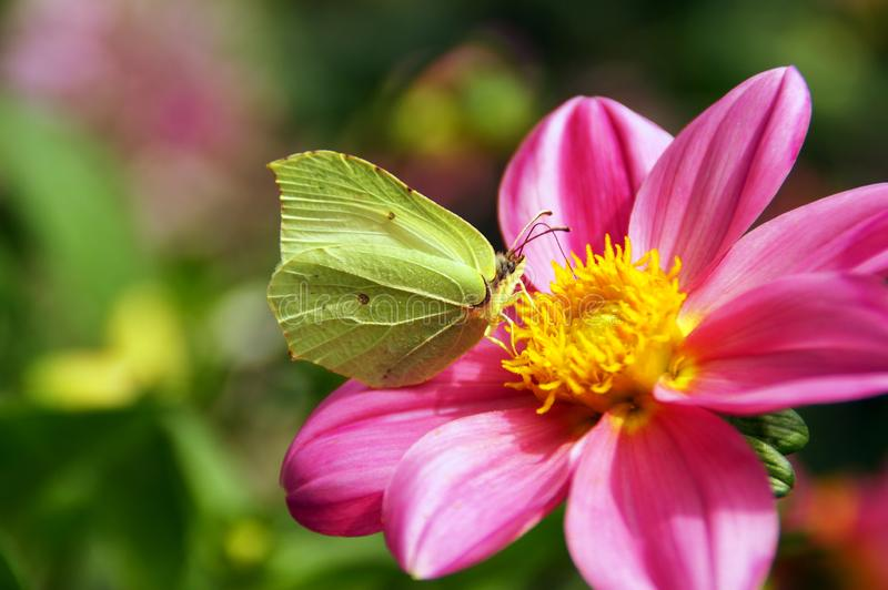 Lemon butterflies on a pink dahlia flower. A delicate lemon moth in warm sunlight sucks nectar on a pink dahlia stock image